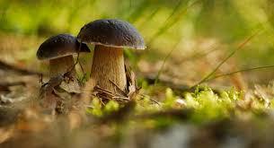 le si e grzyby lasy państwowe