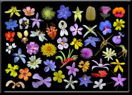 wildflowers of western australia information and great photographs