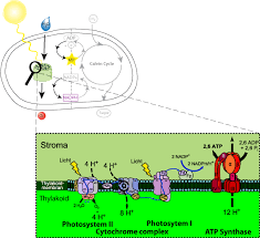 The Light Reactions Of Photosynthesis Use And Produce Biobook Leaf What Happens During The Light Dependent Reactions