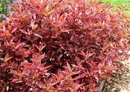 Summer Garden Plants - alternanthera is strong summer garden choice mississippi state
