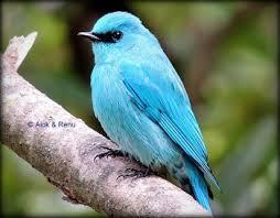 Verditer Blue Verditer Flycatcher Female Teal Turquoise Aqua
