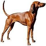 bluetick coonhound westminster bluetick coonhound new breeds at 2011 westminster dog show