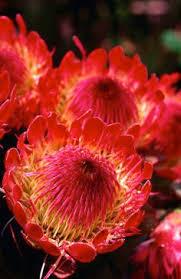 Protea Flower Pink Mink A Protea Flower Flowers Pinterest Protea