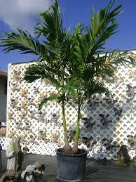 palm tree home decor garden u0026 outdoor wonderful robellini palm tree with other plant