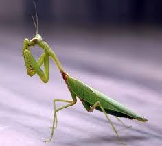 mantis wikipedia
