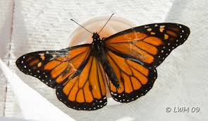 monarch butterfly wing repair butterfly and wildlife gardening