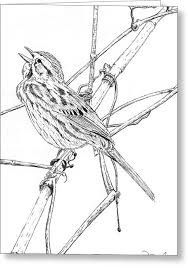 song sparrow drawing by fernando oliveira