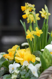 326 best daffodils images on pinterest daffodils flowers and