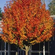 ornamental pear trees plants hello hello plants garden supplies