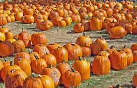 pumpkins for sale pictures for texting free stock photos 68 426