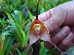 monkey orchid what s this thing called a monkey orchid