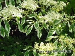 wedding cake tree tree shop co uk wedding cake tree new cornus controversa variegata