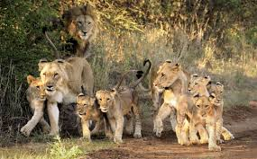 a ray of hope for lions u2013 national geographic society blogs