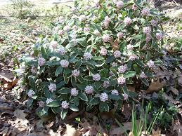 daphne orodata marginata plants for front yard pinterest