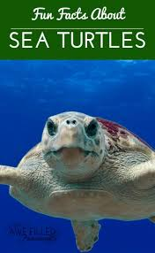 best 25 facts about sea turtles ideas on pinterest sea turtle