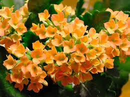 Indoor Flowering Plants by Top 8 Easy Care Flowering Houseplants