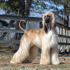 afghan hound job exquisite