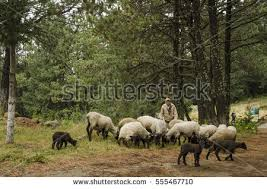 Shepherd Man Stock Images Royalty Free Images Vectors