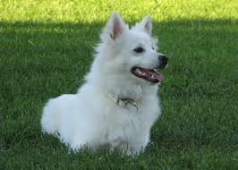 american eskimo dog poodle mix milkotein for dogs weighing 20lbs or less paras pets llc