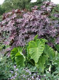 the side plants with black or purple foliage master