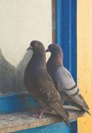 How To Get Rid Of Pigeons Off My Roof by Pigeons Are New Yorkers Too A Fine Mess The New York