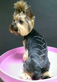 haircuts for yorkies yorkie haircuts 100 yorkshire terrier hairstyles pictures
