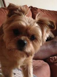 shorkie haircut photos 57 best shorkies images on pinterest doggies dogs and puppies