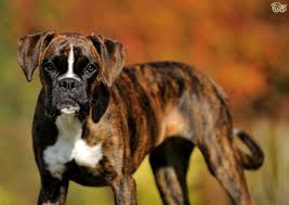 6 week pregnant boxer dog some gorgeous brindle dog breeds pets4homes