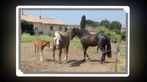 mustangs mating aggresive mating amazing react of horses mating