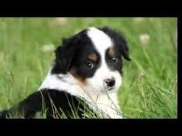 images of australian shepherd top 10 amazing facts about miniature australian shepherd toy