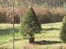 local tree farm sells trees in a pot