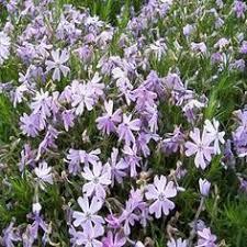 home depot sydney ns hours black friday supertunia royal velvet petunia live plant purple flowers 4 25