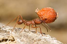 texas leaf cutting ant insects in the city