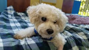bichon frise breeders texas jessie a male bichon frise at muttville youtube