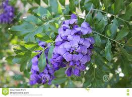 Tree With Purple Flowers Texas Mountain Laurel Tree With Purple Flowers Stock Photo Image