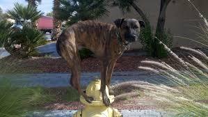australian shepherd off leash off leash training summerlin dog training