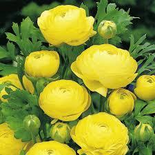 Ranunculus Ranunculus Bulbs Yellow All Bulbs Flower Bulbs Gardening