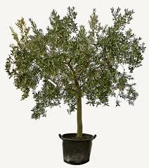 ornamental olive trees vivai chiostri olive tree nursery since
