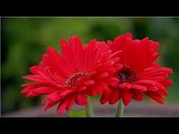 gerbera plant garden tips how do i grow gerbera flowers