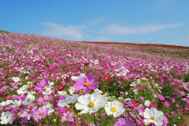 Image Flower Garden by Flower Calendar U2013 Hitachi Seaside Park
