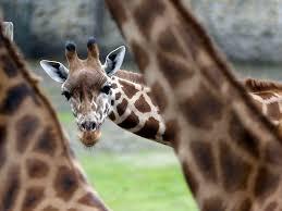 the brutal ridiculous way giraffes fight business insider