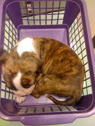 boxer dog rescue florida 3 4 boxer 1 4 apbt puppies virtuavet
