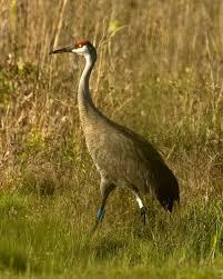 Mississippi birds images Free picture mississippi sandhill crane bird grass camouflage jpg