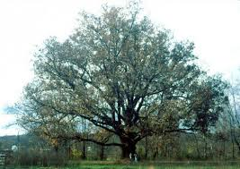 interesting facts about oak trees owlcation