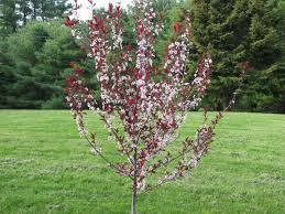 Backyard Trees Landscaping Ideas by 15 Best Landscape Trees And Shrubs Images On Pinterest Shrubs