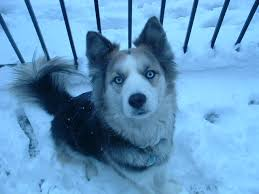 australian shepherd x puppies for sale australian shepherd husky mix puppies for sale the universe of