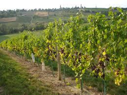 grape leaves and vine shoots feedipedia