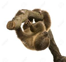 4 toed sloth baby two toed sloth 4 months choloepus didactylus in front