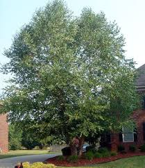classic ornamental tree will beautify your landscape it is easy