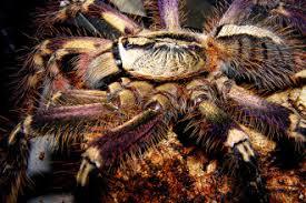 fringed ornamental tarantula 8 fringed ornamental tarantula